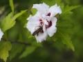 Biene-Hibiscus-1