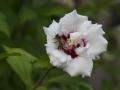 Biene-Hibiscus-2